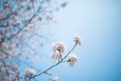 Fleur de cerise blanche Images libres de droits
