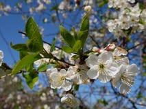 Fleur de cerise blanche Image libre de droits