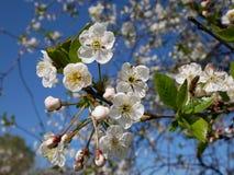 Fleur de cerise blanche Photo libre de droits