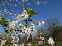 Fleur de cerise blanche Photographie stock libre de droits