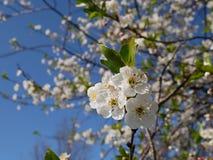 Fleur de cerise blanche Photographie stock