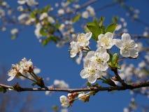 Fleur de cerise blanche Photos stock