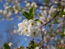 Fleur de cerise blanche Images stock