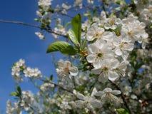 Fleur de cerise blanche Photos libres de droits