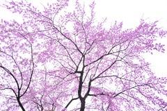 fleur de cerise d'art Images stock