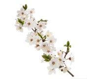 Fleur de cerise d'isolement sur le fond blanc Image libre de droits