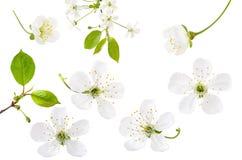 Fleur de cerise d'isolement sur le fond blanc Placez des fleurs de cerisier de floraison de ressort, de la branche et des feuille image stock