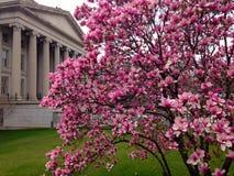 Fleur de cerise dans le Washington DC image libre de droits