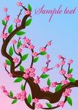 Fleur de cerise de fond Photographie stock libre de droits