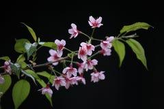 Fleur de cerise de Sakura à l'arrière-plan noir Photos libres de droits