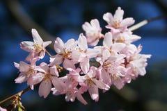 Fleur de cerise de source Photographie stock
