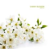 Fleur de cerise de source Image libre de droits