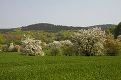 Fleur de cerise en avril dans Holperdorp, Allemagne Images stock
