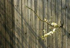 Fleur de cerise et vieille frontière de sécurité photographie stock libre de droits