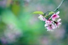 Fleur de cerise, fleur de sakura Photo libre de droits