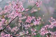 Fleur de cerise, fleur rose de sakura avec la baisse de pluie Image libre de droits