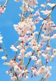 Fleur de cerise japonaise Photographie stock