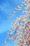 Fleur de cerise japonaise Photos stock