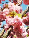Fleur de cerise japonaise Image stock