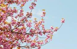 Fleur de cerise japonaise Images libres de droits