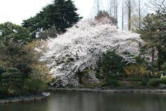 Fleur de cerise japonaise de Sakura au lac Images libres de droits