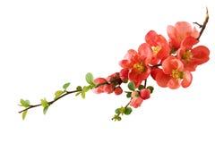 Fleur de cerise orange Photos stock