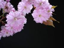 Fleur de cerise rose Image libre de droits