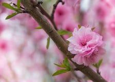 Fleur de cerise rose Photographie stock libre de droits