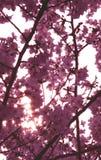 Fleur de cerise rose images stock