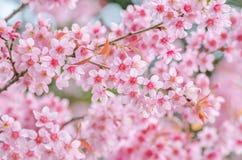 Fleur de cerise rose images libres de droits