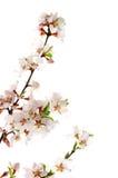 Fleur de cerise rose Photographie stock