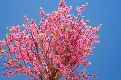 Fleur de cerise rose Photos stock