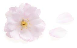 Fleur de cerise rose d'isolement sur le blanc Photographie stock