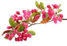 Fleur de cerise rouge Images stock