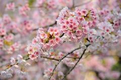 Fleur de cerise (Sakura) Photos libres de droits