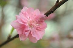 Fleur de cerise simple Image stock