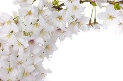Fleur de cerise sur l'au sol de dos de blanc Photographie stock libre de droits