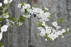 Fleur de cerise sur le mur texturisé en béton grunge Image stock