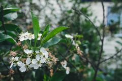 Fleur de cerises Photo libre de droits