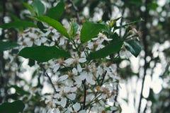 Fleur de cerises Photographie stock libre de droits
