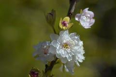 Fleur de cerises Image stock