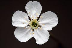 Fleur de cerisier Images stock
