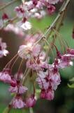Fleur de cerisier Image stock