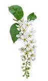 Fleur de cerisier d'oiseau d'isolement sur le blanc Photos libres de droits