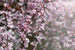 Fleur de cerisier, fleurs roses, fond de ressort photographie stock libre de droits