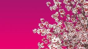 Fleur de cerisier de Sakura sur le fond rose banque de vidéos