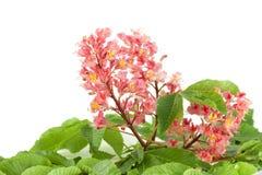Fleur de châtaigne Photographie stock