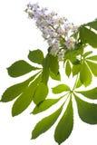 Fleur de châtaigne Photographie stock libre de droits