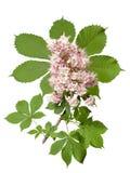 Fleur de châtaigne Image stock