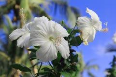 Fleur de Cha Ba Photographie stock libre de droits